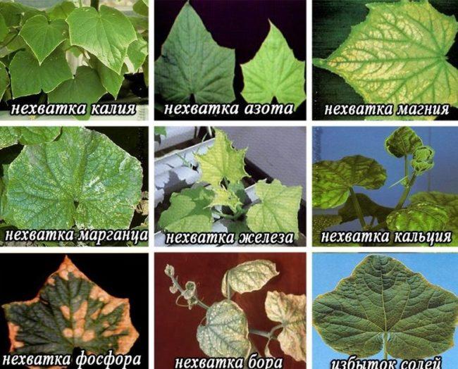 Признаки недостатка различных питательных элементов на листьях огурцов
