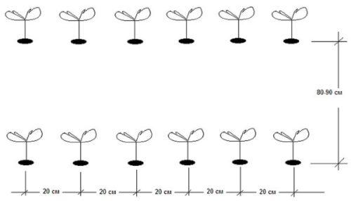 Схема высадки рассады огурцов при однострочном размещении в открытом грунте