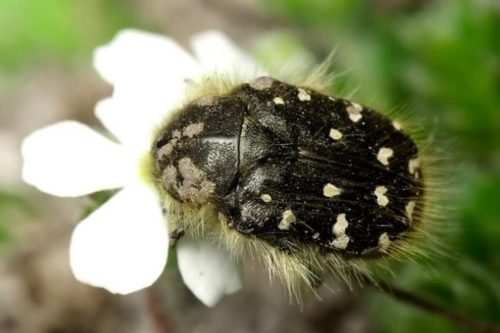 Взрослый жук оленка мохнатая на белом цветке гибридной ежевики
