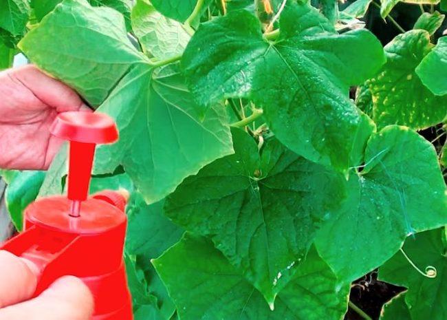Опрыскивание огуречных листьев раствором мочевины из красного распылителя