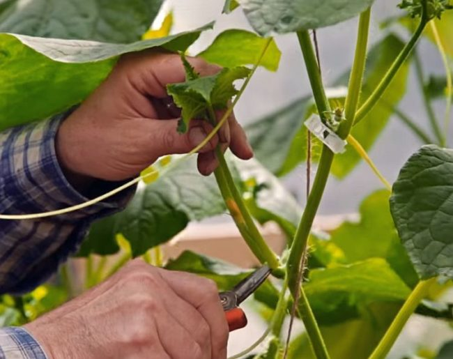 Обрезка садовыми ножницами пасынка на огуречной плети в теплице из поликарбоната