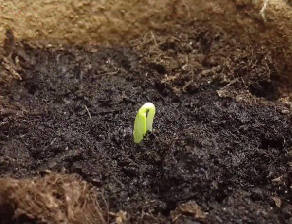 Первый зелёный росток огурца на поверхности торфяного грунта в парнике