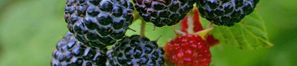 Чёрные и красные плоды ежевики садовой на одном кусте