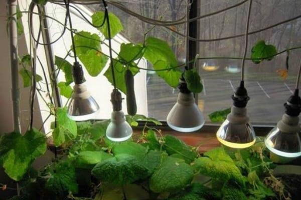 Подсветка огурцов фитолампами при выращивании на балконе городской квартиры