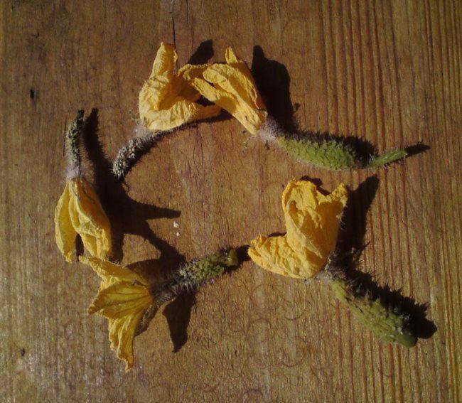 Пожелтевшие и павшие завязи плодов огурцов на поверхности деревянного стола