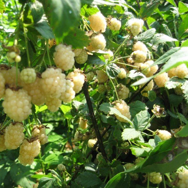 Ягоды бело-кремового цвета на ветках садовой ежевики сорта Полар Берри