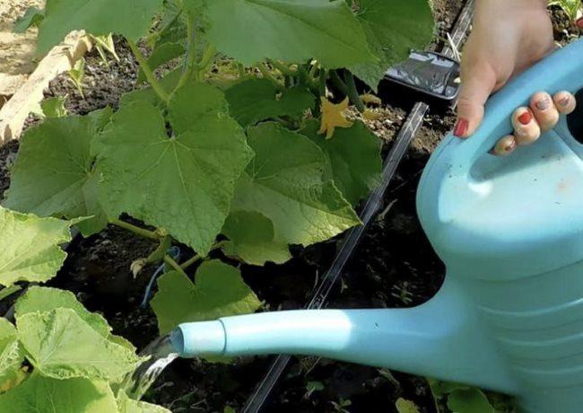 Полив огурцов в теплице дождевой водой из пластиковой лейки