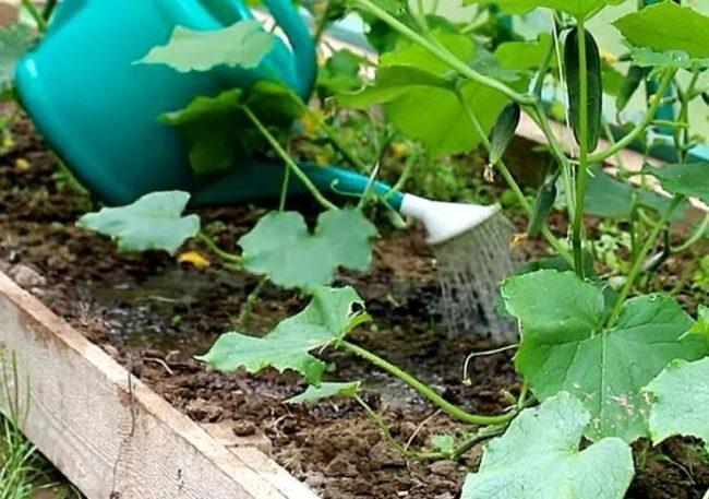 Внесение водорастворимого минерального удобрения под корень огурцов в теплице