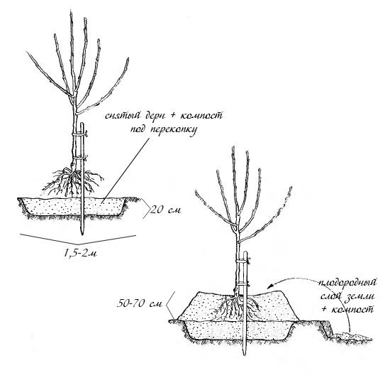 Схема посадки сливового саженца на насыпной холм при высоких грунтовых водах