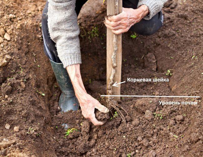 Схема размещения корневой шейки саженца сливы относительно окружающей почвы
