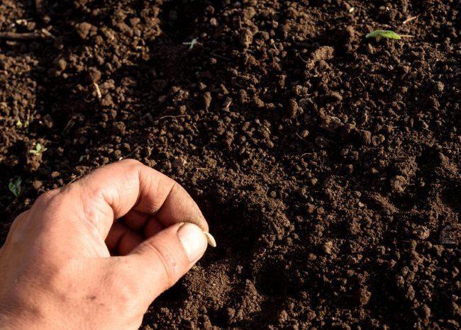 Посадка семени гибридного огурца в открытый грунт огородником-любителем