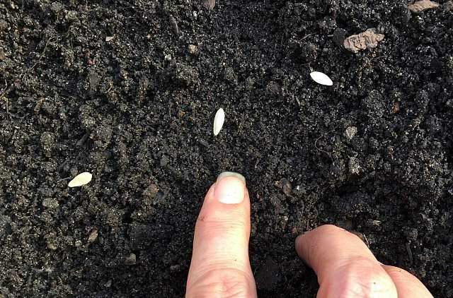 Посадка семян огурцов на дачном участке по влажному грунту в конце весны