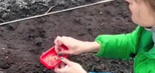 Посадка огурцов семенами в открытый грунт