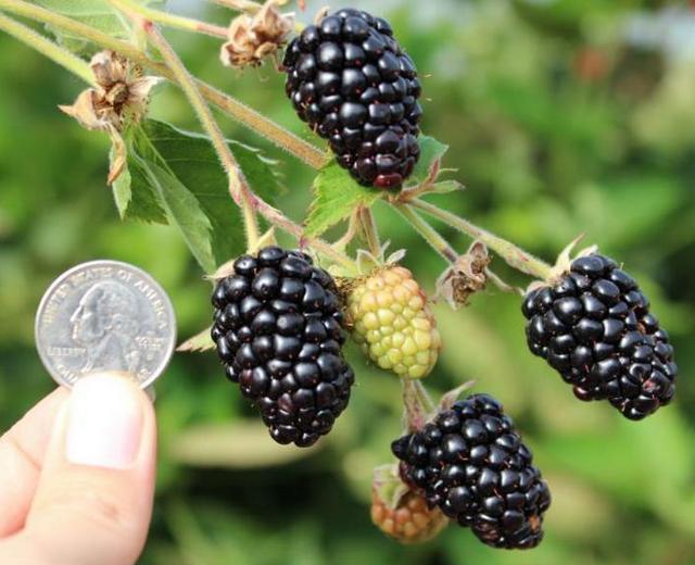 Размеры чёрных ягод ремонтантной ежевики сорта Прайм Арк Тревелер
