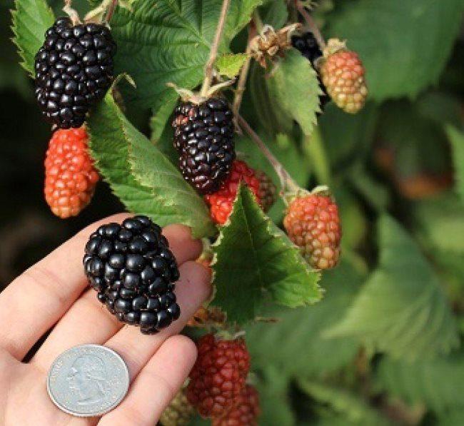 Внешний вид и размеры ягод ежевики сорта Прайм Арк Тревелер для Ленинградской области