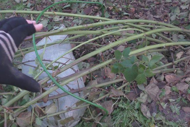 Пригибание однолетних веток ежевики перед укрытием на зиму