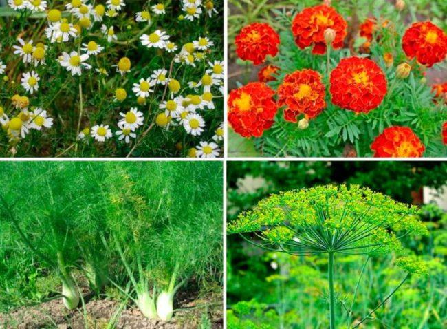 Коллаж из растений, высаживаемых в огороде для борьбы с тлей