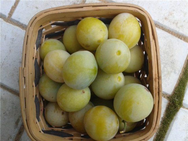 Небольшая корзинка со спелыми плодами сливы сорта Ренклод колхозный