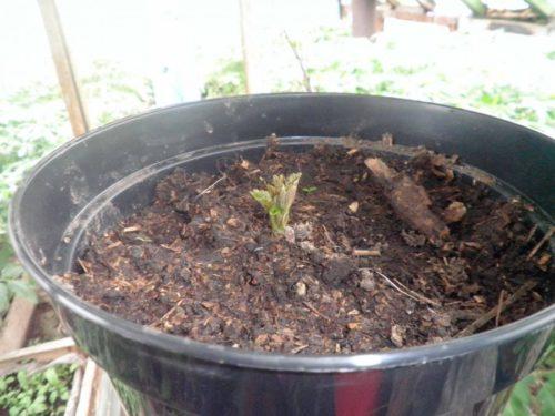 Раскрывание первых листочков на молодом сеянце садовой ежевики