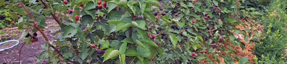 Садовая ежевика плодоносящие кусты в момент созревания на участке