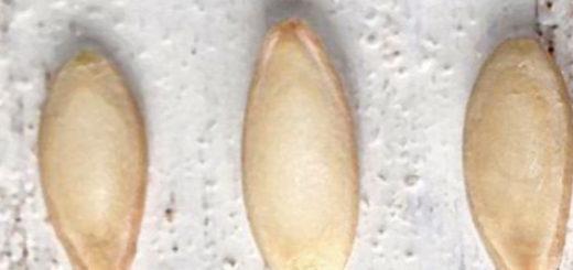 Семена огурцов вблизи на столе