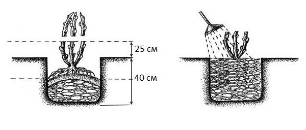 Схема подготовки лунки для сеянца и посадка ежевики на постоянное место произрастания