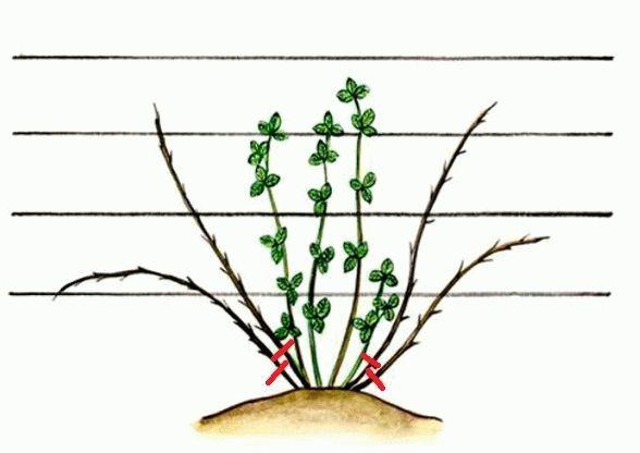 Схема формирования куста ежевики при выращивании на проволочной шпалере