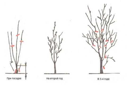 Схема формирующей обрезки сливы с посадки до четырехлетнего возраста