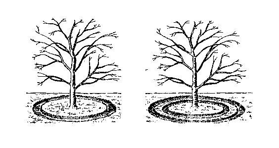 Схема формирования бороздок для полива в приствольном круге сливы