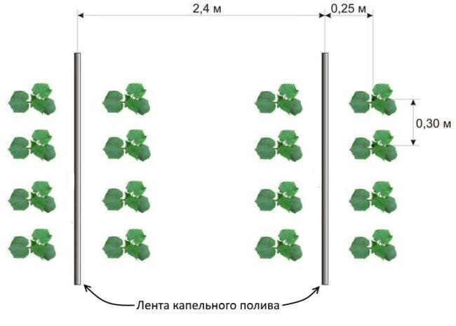 Схема посадки огурцов в тепличных условиях с капельным поливом