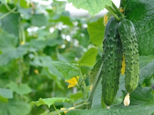 Выращивание скороспелых огурцов в тепличных условиях региона с коротким летом