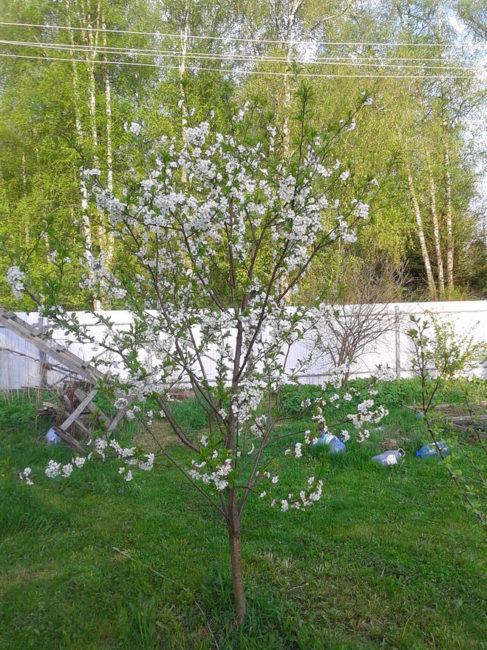 Белые цветки на молодой сливе небольшого роста в середине мая