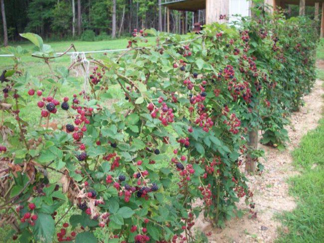 Созревание ягод гибридной ежевики на подвязанных к проволоке ветках