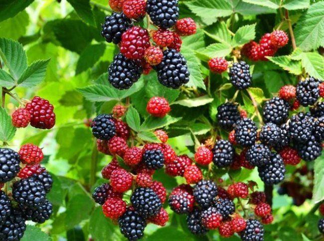 Неравномерное созревание ягод ежевики на прошлогодних ветках