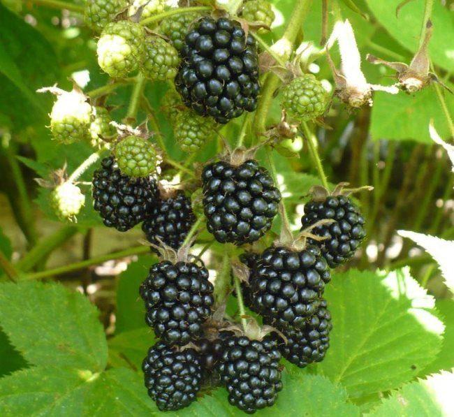 Переспелые ягоды ежевики черного цвета для размножения семенами
