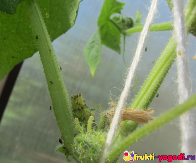 Зелёная колония тли на стебле огурца во время плодоношения