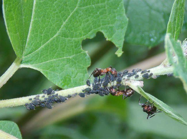 Крупные коричневые муравьи переносят тлю по веткам огурцов в открытом грунте