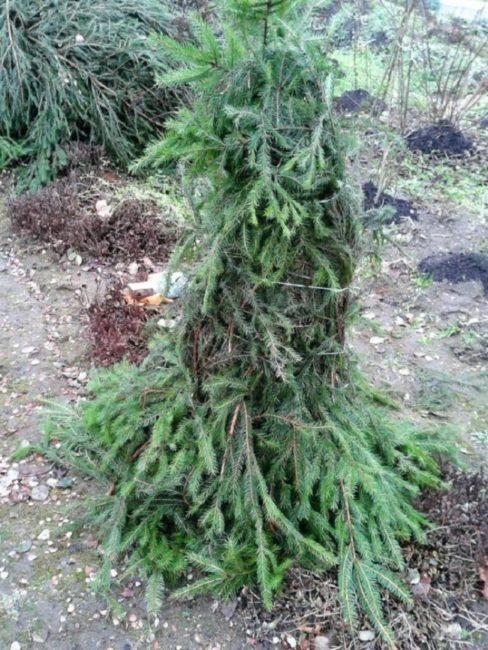 Укрытие молодого саженца сливы еловыми ветками в осенний период
