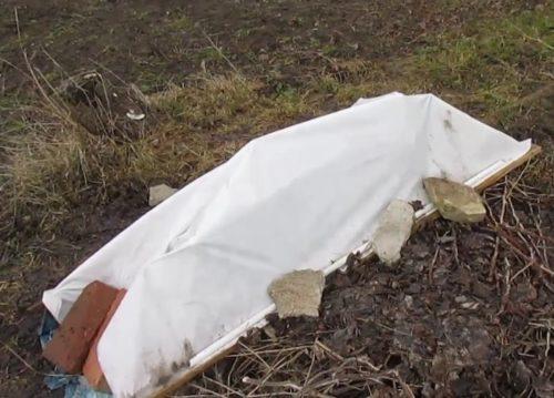 Зимнее укрытие садовой ежевики белым материалом своими руками