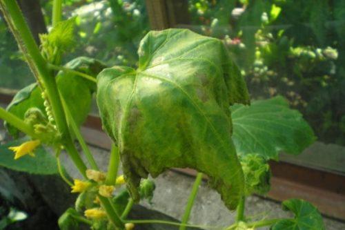 Поникший и засыхающий лист огурца при заражении растения корневой гнилью