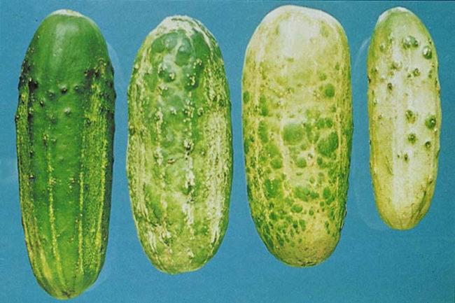 Плоды огурцов с пятнами при поражении растения вирусной мозаикой