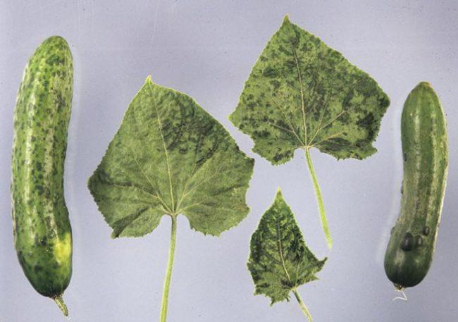 Симптомы вирусной мозаики на плодах и листьях огурцов из теплицы