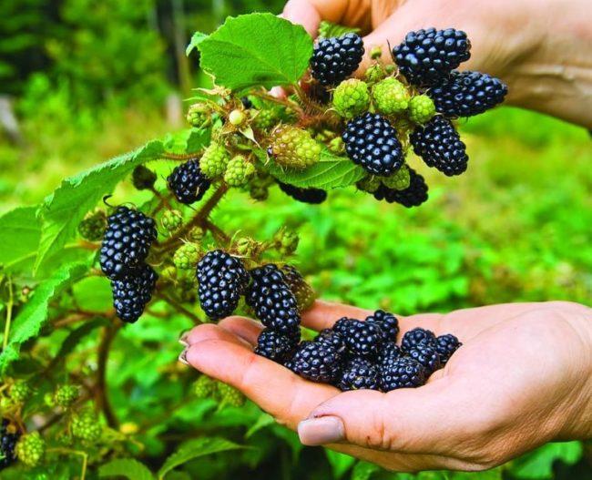 Сбор садоводом крупных черных ягод ежевики в урожайный сезон