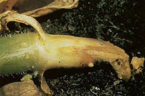 Признаки корневой гнили на стебле огуречной культуры