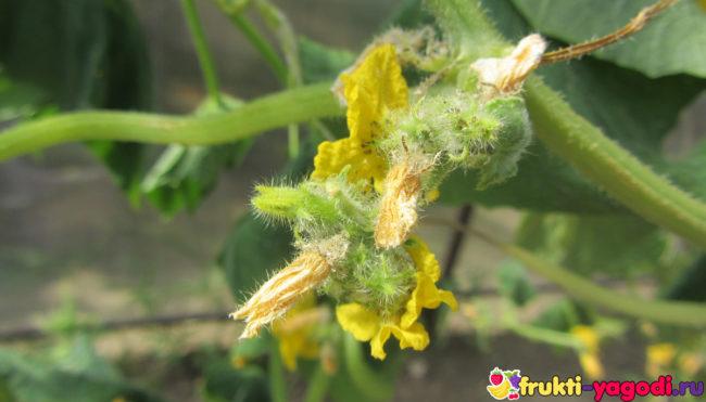 Опадающий цвет огурцов на стебле овоща