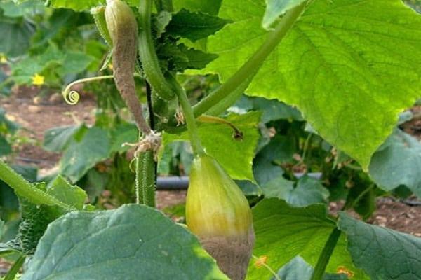 Загнивания плода огурца прямо на стебле при поражении аскохитозом