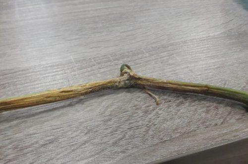 Признаки поражения огурца стеблевой гнилью в виде черных точек и выделений на стебле