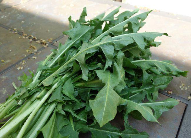 Листья одуванчика для приготовления травяного настоя от паутинного клеща
