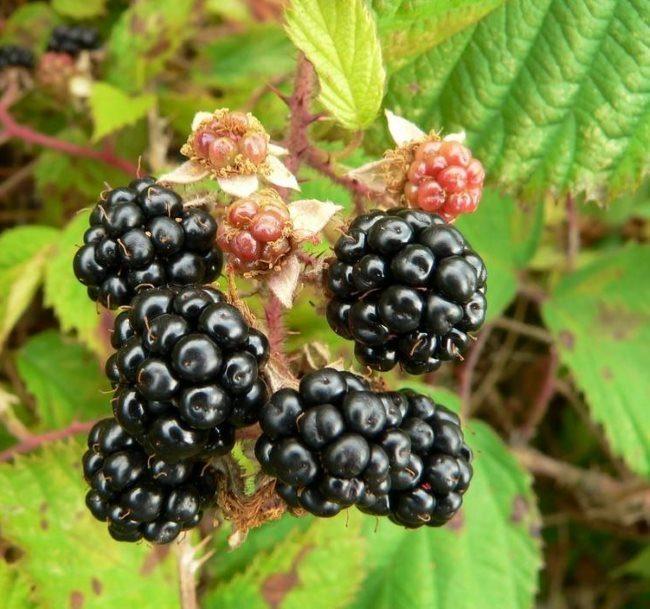 Крупные черные ягоды содовой ежевики на дачном участке