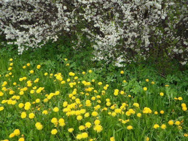 Выбор срока высадки огурцов в открытый грунт по цветению одуванчиков